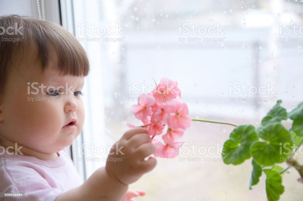 curious baby girl portrait in pink clothes one year old on the window with geranium flower. inquisitive child at home at rainy day stock photo
