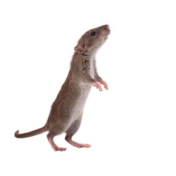 curious baby rat stock photo