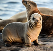 This baby sea lion was resting along the cliffs in La Jolla, CA and was curiously looking at the camera.