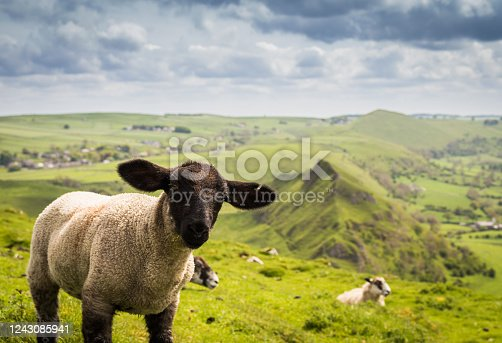 a herd of sheep with thick wooly coats and looking at camera, grazing in the hills in County Antrim, Northern Ireland, under a dark moody sky with low winter sunlight