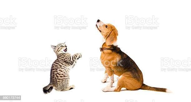 Curious beagle dog and playful kitten scottish straight together picture id590173744?b=1&k=6&m=590173744&s=612x612&h=nvjhl22jtdn14lmo3iajua6lwacg2md9sut9icznsw8=