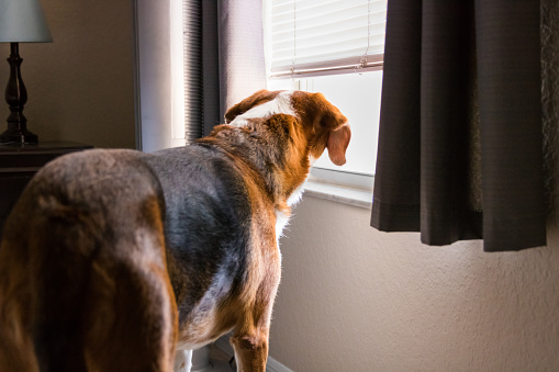 A curious Beagle mix hound looks out the window.