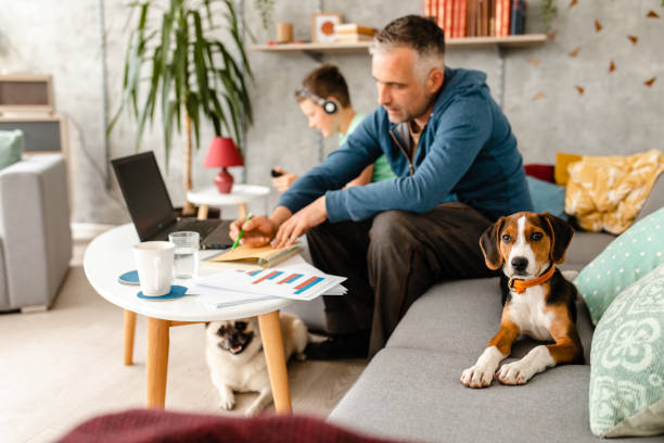 Curious beagle puppy makes company to his owner while he working from home during home isolation stock photo