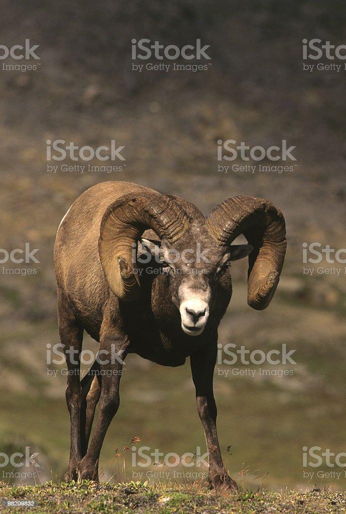 Curious Bighorn Ram royalty-free stock photo