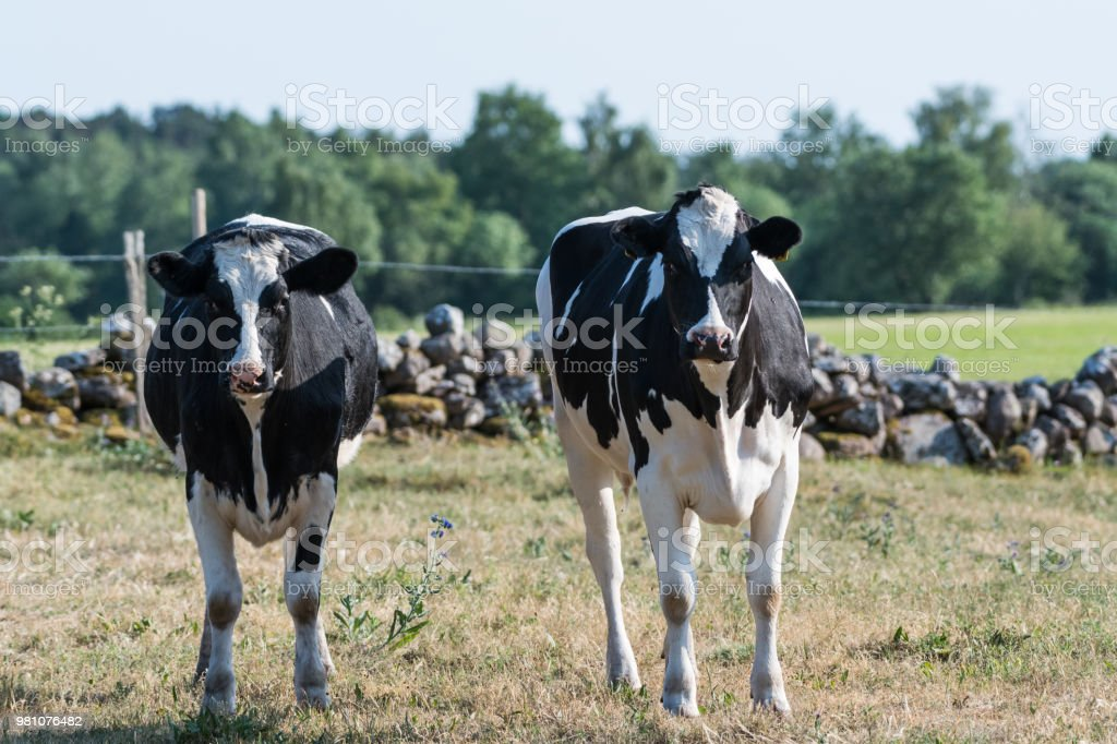 Curious black and white cattle stock photo