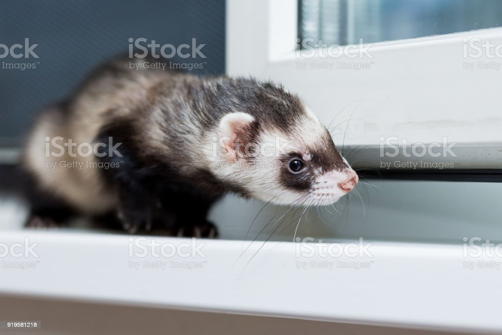 Curious Black and white ferret sitting on the windowsill stock photo