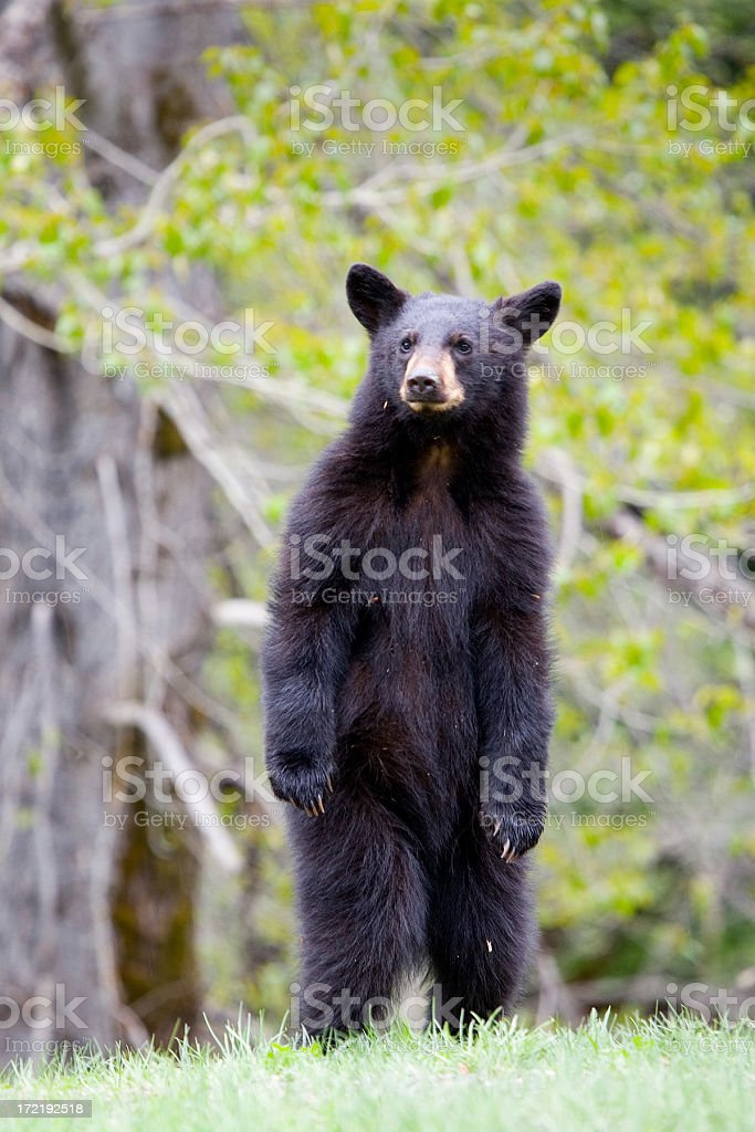 Curious Black Bear Cub standing up for a look stock photo