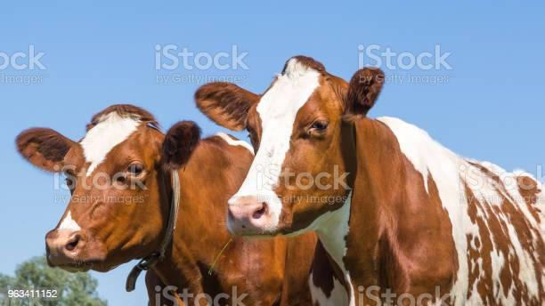 Ciekawie Brązowe Krowy W Terenie - zdjęcia stockowe i więcej obrazów Bydło domowe