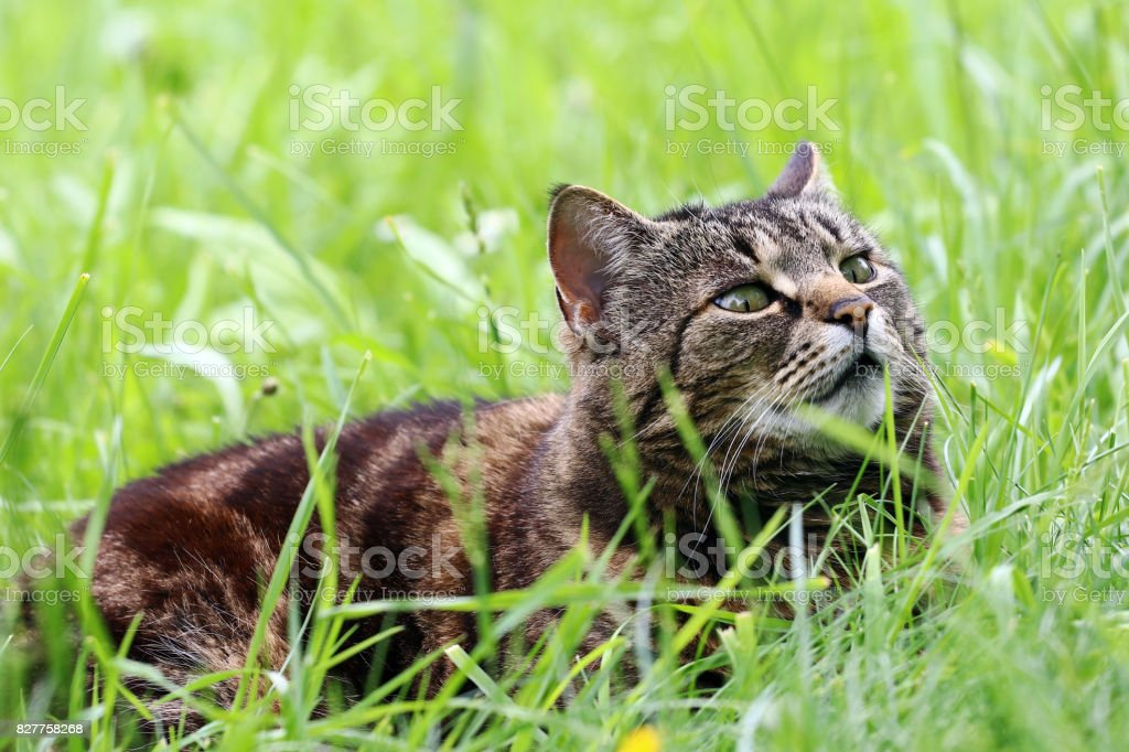A curious brown-black cat is relaxing in the grass stock photo