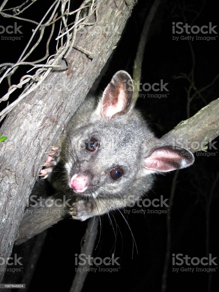 curious brush tail possums stock photo