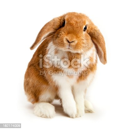 Brown and white coloured lop rabbit ears down on white backgroundSimilar images from this series: