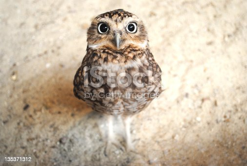 Smart looking nosy burrowing owl with big eyes looking into the camera. Focused on eyes and beak. Blurred brown background and landscape format.