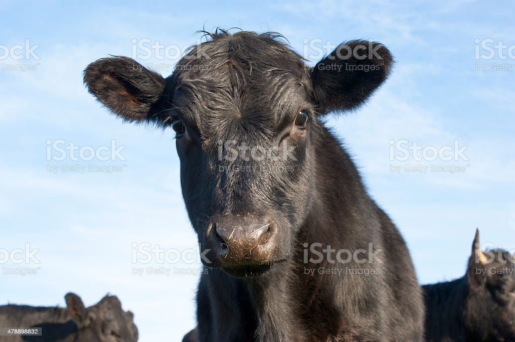 Curious Calf stock photo
