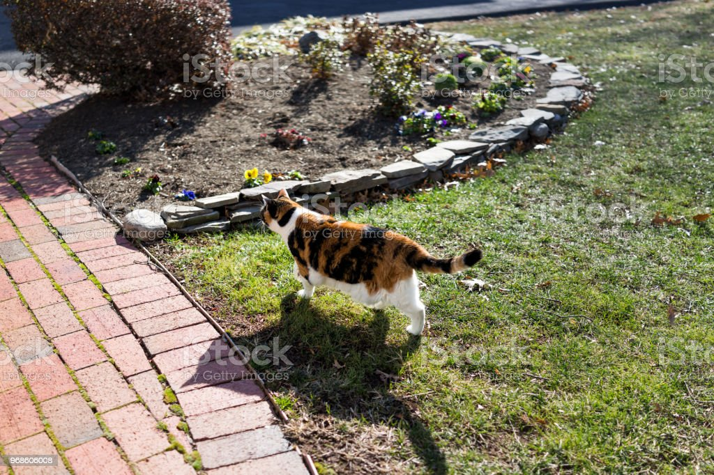 Curious calico cat exploring outside green garden face in sunny bright sunlight hunting on porch, front or back yard of home or house garden stock photo
