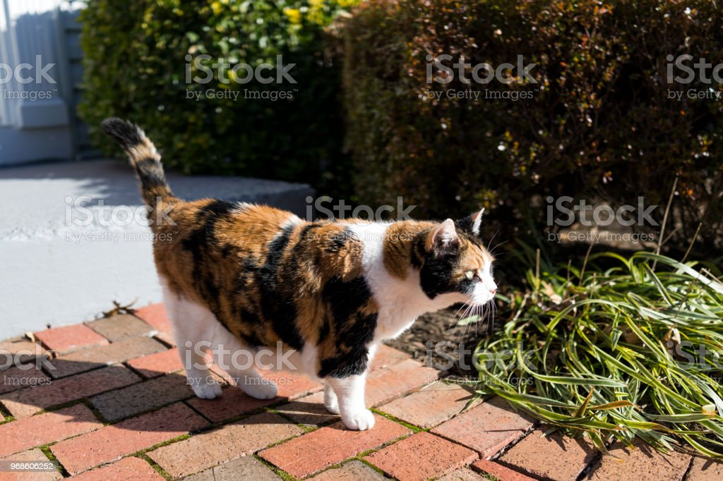Curious calico cat outside green garden face in sunny bright sunlight hunting on porch, front or back yard of home or house garden stock photo