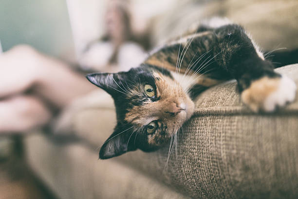 Curious Calico Cat Colorful calico cat looking at you with person out of focus in background tortoiseshell cat stock pictures, royalty-free photos & images