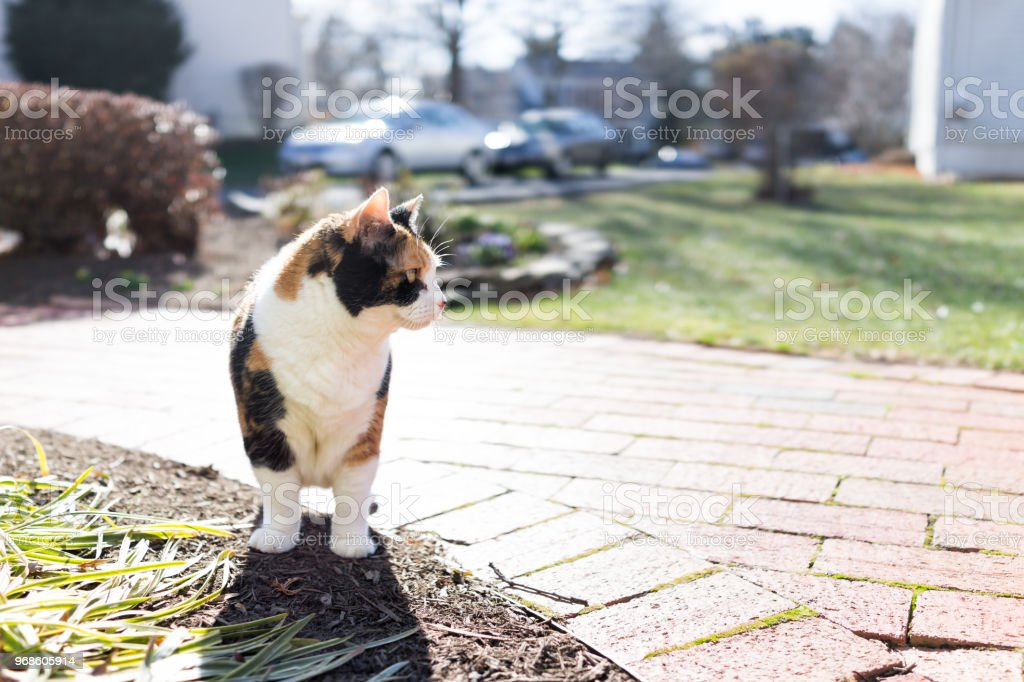 Curious calico cat standing outside closeup in green garden face in sunny bright sunlight hunting on porch, front or back yard of home or house garden stock photo
