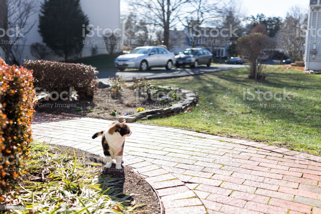 Curious calico cat standing outside green garden face in sunny bright sunlight hunting on porch, front or back yard of home or house garden stock photo