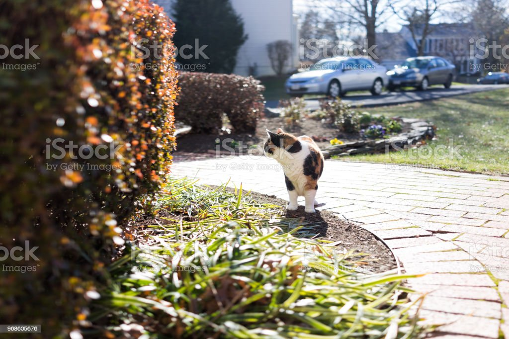 Curious calico cat standing outside looking away in green garden face in sunny bright sunlight hunting on porch, front or back yard of home or house garden stock photo