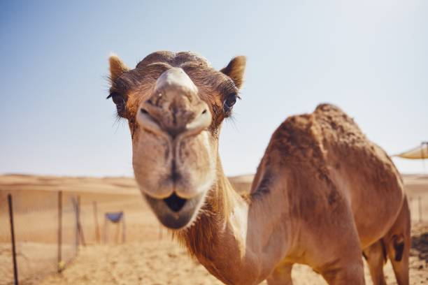 Curious camel in desert Close-up view of curious camel against sand dunes of desert, Sultanate of Oman. working animal stock pictures, royalty-free photos & images