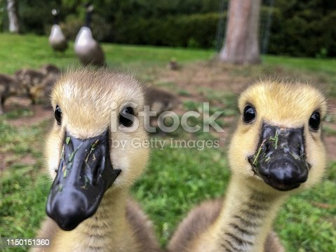 Funny portrait of curious Canada goose goslings in front of their family.