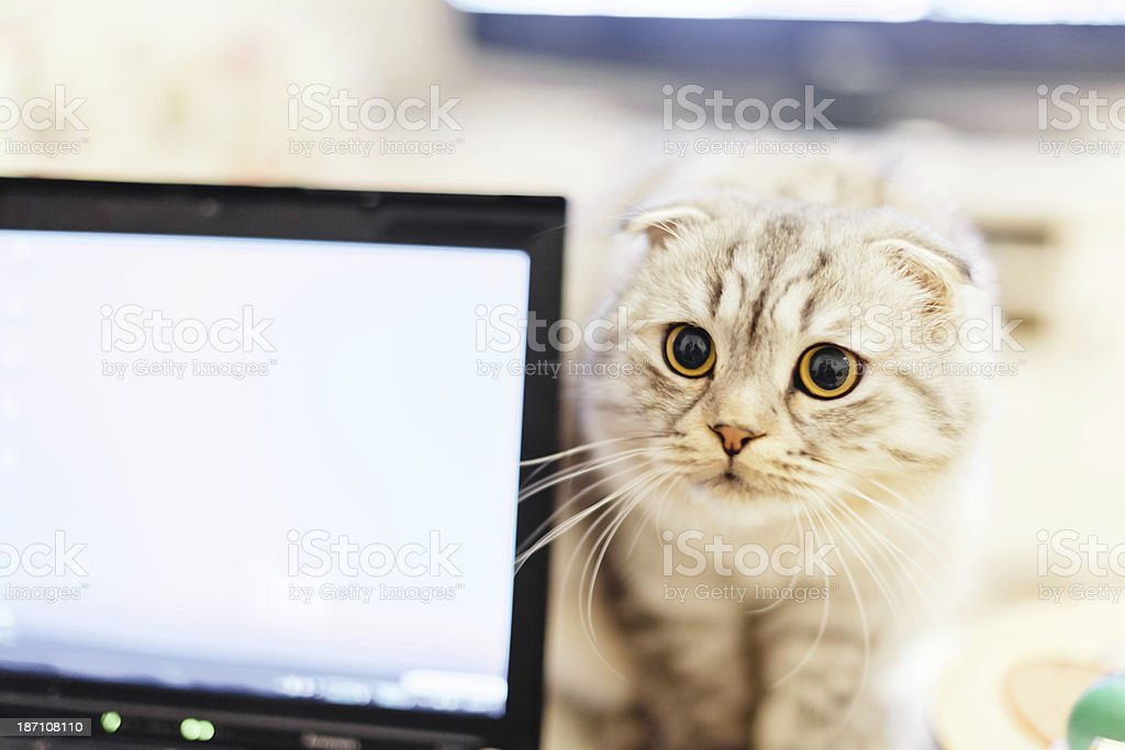 Curious cat and laptop together stock photo