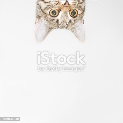 istock Curious cat face looking out over the edge 635837248