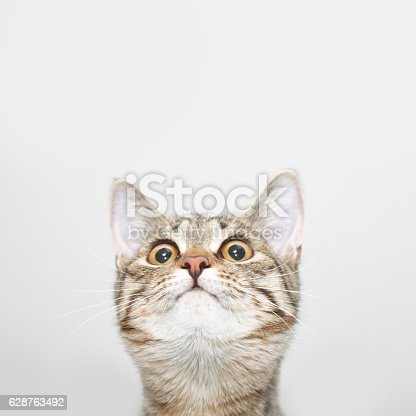 Curious cat face looking up. Cute kitten portrait