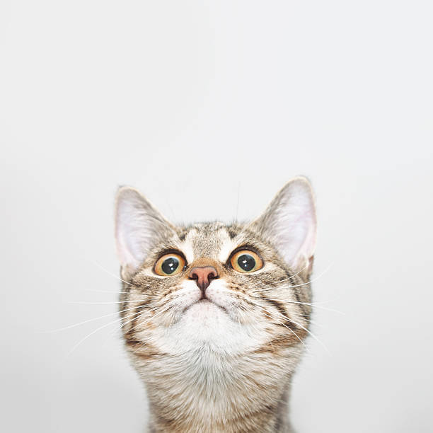 Curious cat face looking up stock photo