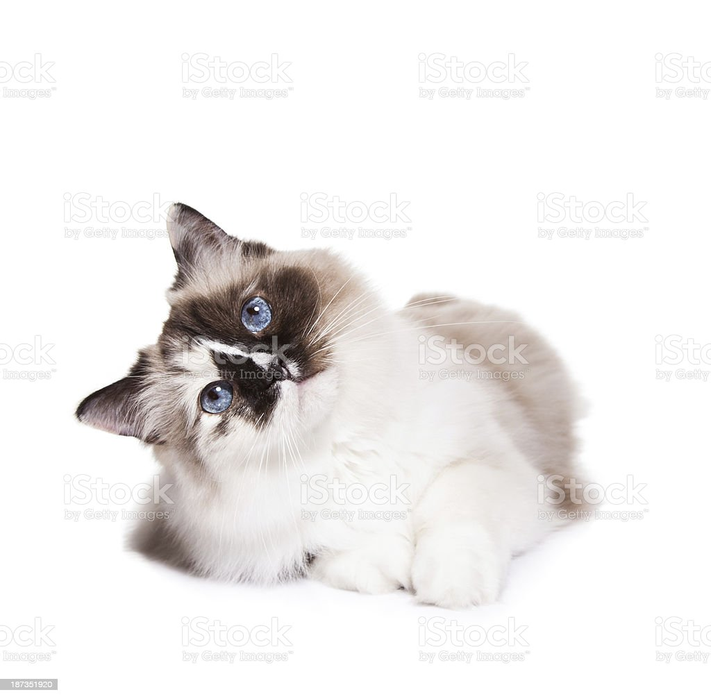 Curious Cat on White stock photo