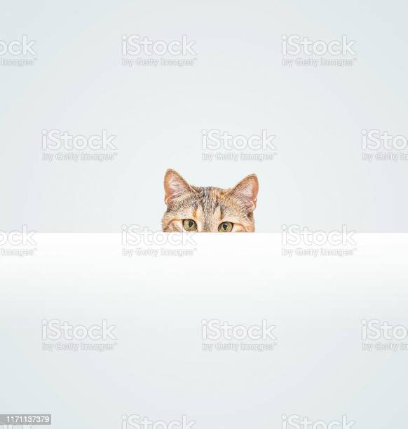 Curious cat peeking out from behind a blank white banner picture id1171137379?b=1&k=6&m=1171137379&s=612x612&h=a mdcha1wofijvn0lk4uhfr6 ldatsh3zzveov5eox0=