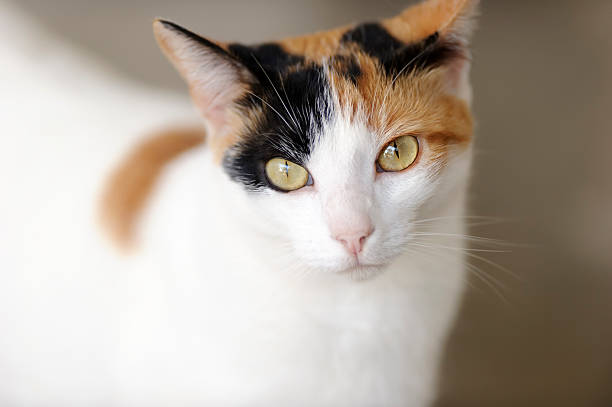 Curious Cat Curious cat  is a closeup image of a Calico cat with magnetic green eyes tortoiseshell cat stock pictures, royalty-free photos & images