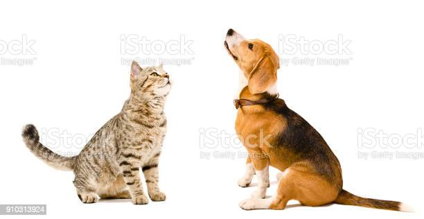 Curious cat scottish straight and beagle dog picture id910313924?b=1&k=6&m=910313924&s=612x612&h=mkfjumib1tir0t2rtn3uhk0lsaqmkwlslzvabhann6e=