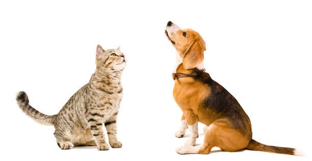 Curious cat scottish straight and beagle dog picture id910313924?b=1&k=6&m=910313924&s=612x612&w=0&h=l33kyteuinijbfpjhorqk6x j7ukjhw7ii de 6z80s=