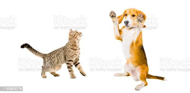 Curious cat scottish straight and funny beagle dog picture id1153903279?b=1&k=6&m=1153903279&s=612x612&h=spxcufott25q6xgbg23mpw5n3catcbjybdtzwba7rc8=