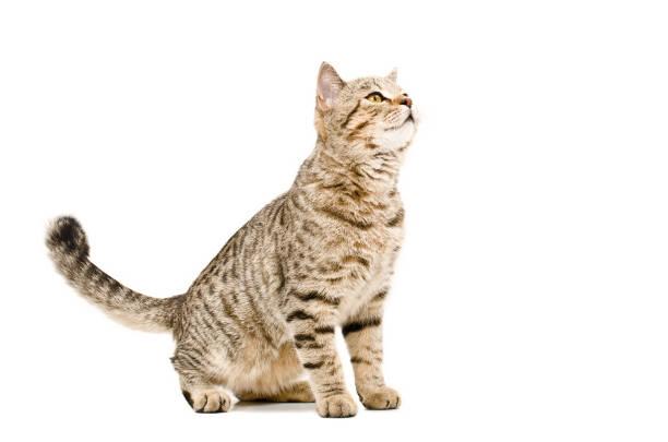 Curious cat scottish straight picture id898916246?b=1&k=6&m=898916246&s=612x612&w=0&h=x caydngd86wsvaw60galdu1gkiakkydrh9zlugod9i=