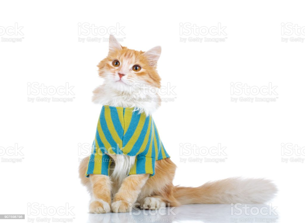 curious cat wearing clothes while sitting stock photo