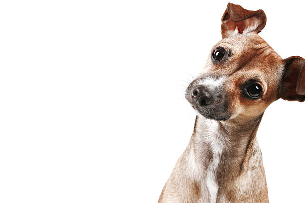 Curious Chihuahua  raised eyebrows stock pictures, royalty-free photos & images