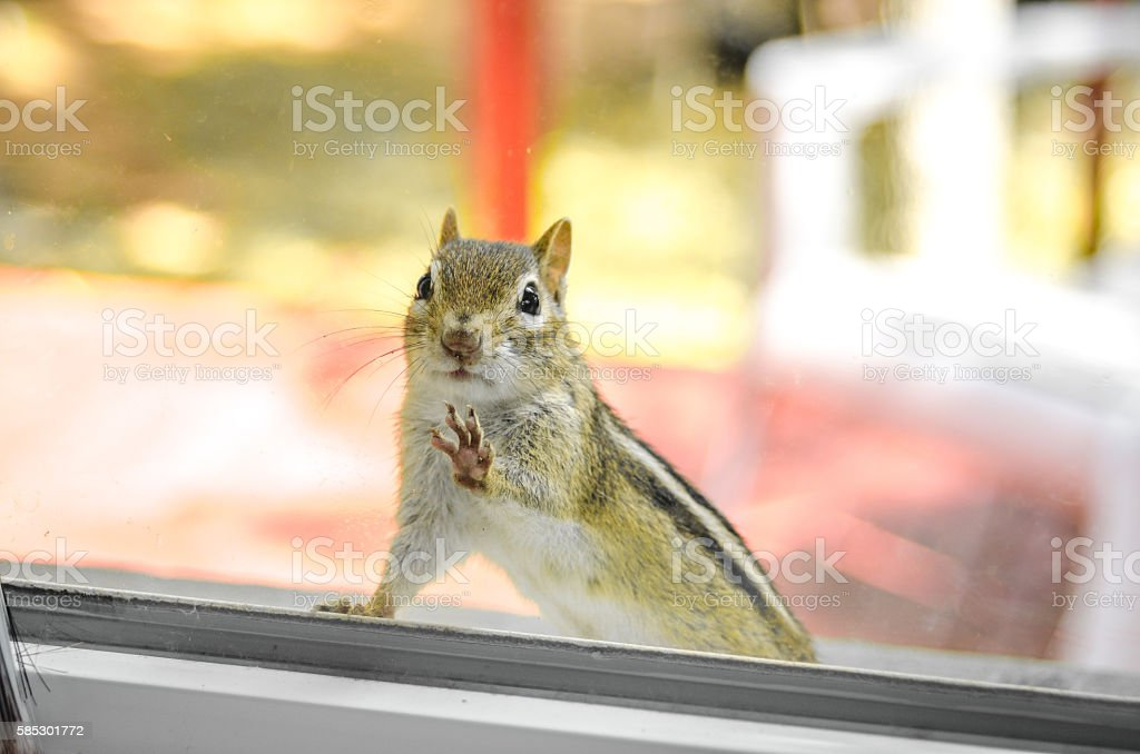 Curious chipmunk peers through my window from the sill outside. stock photo