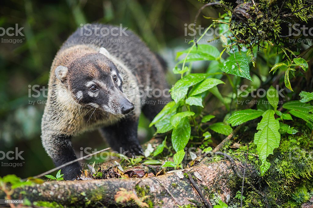 Curious coati - treasure of Costa Rica stock photo