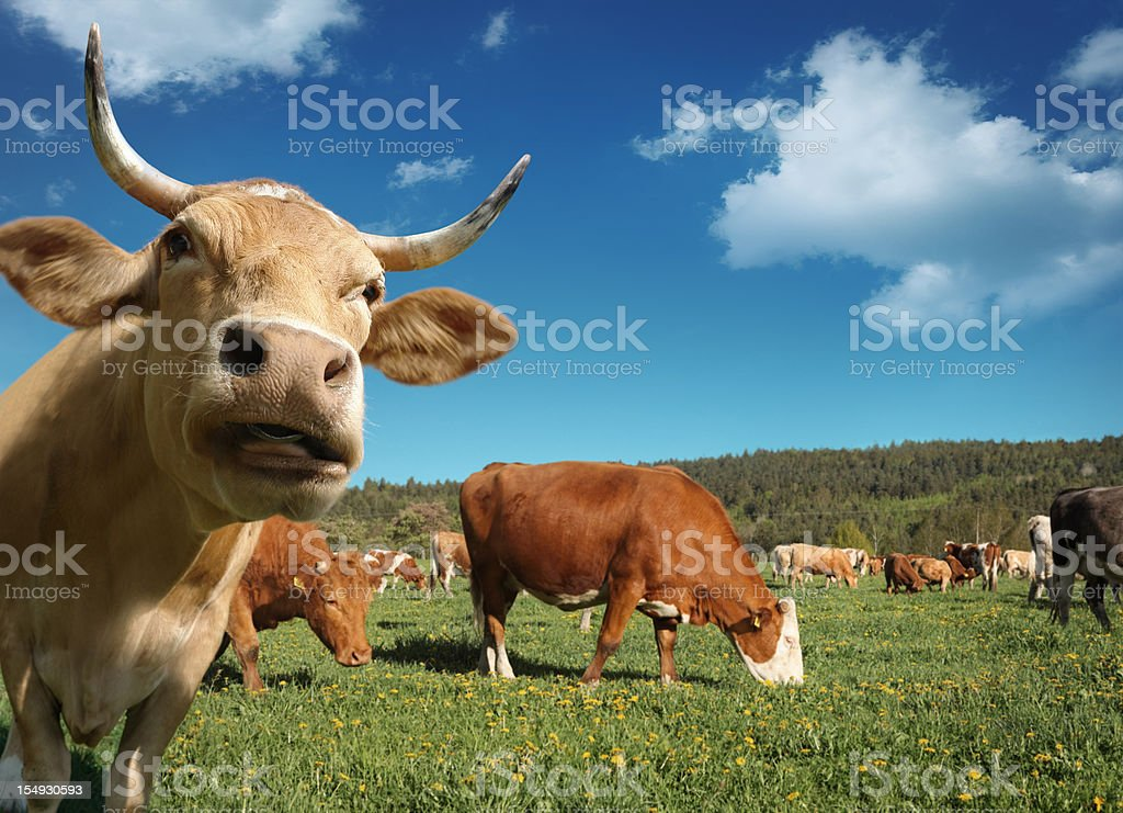 Curious Cow and Herd of Cows Behind stock photo