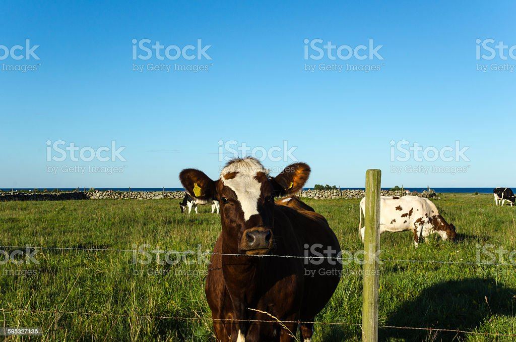Curious cow behind a fence stock photo
