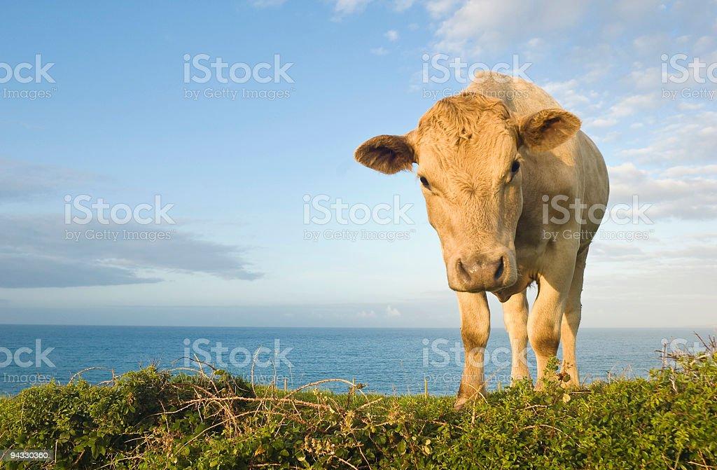Curious cow, ocean horizon royalty-free stock photo