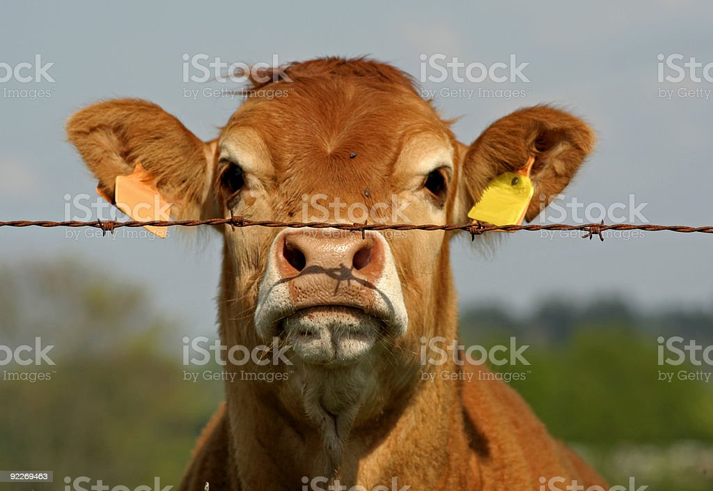 curious cow stock photo