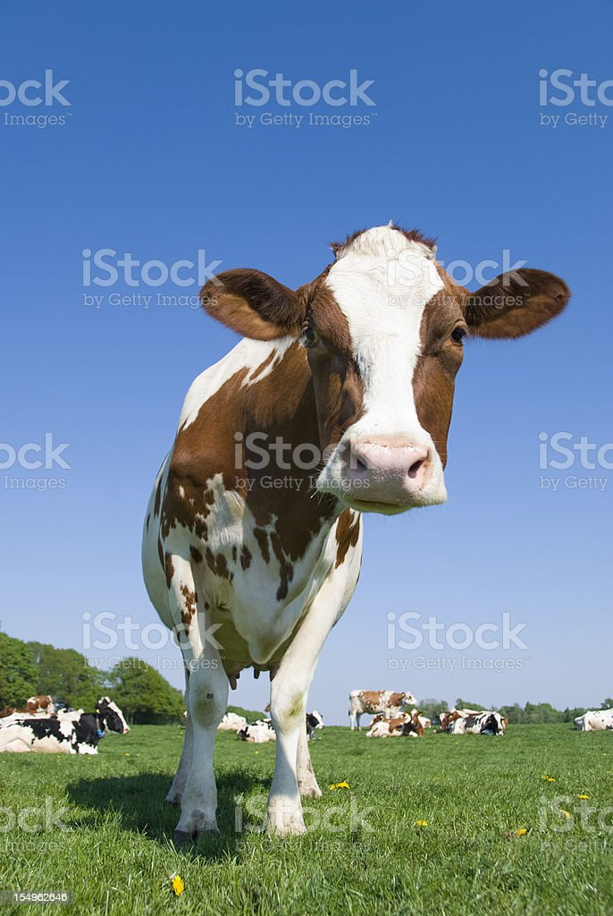 Curious cow standing in a meadow stock photo