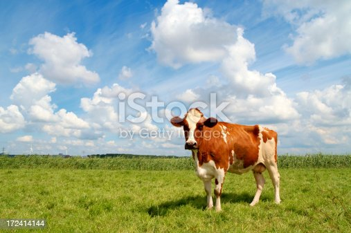 A curious cow watching the photographer. The young cow is standing on fresh green grass with a beautiful blue sky and a dramatic cloudscape as background.