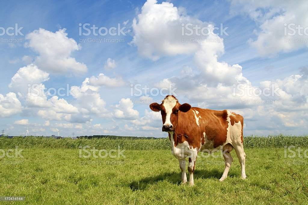 Curious cow standing on meadow stock photo