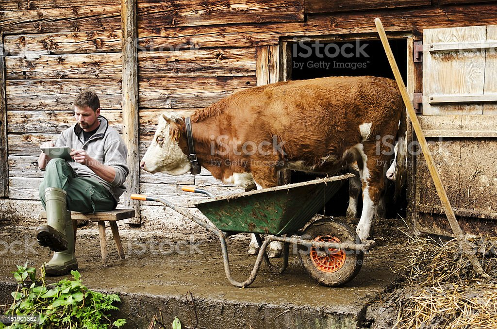 Curious cow watching farmer using digital tablet stock photo