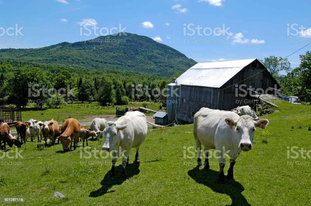 Curious cows at the farm. stock photo
