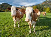 Funny shot of Curious Cows, Austrian Alps Panorama. Nikon D850. Converted from RAW.